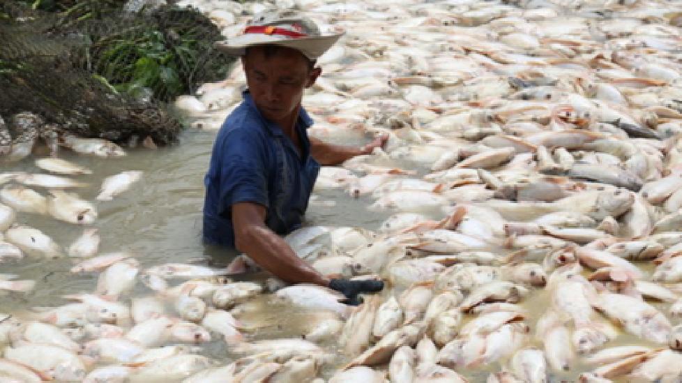 1.500 tấn cá bè chết trắng trên sông La Ngà do nước có khí độc vượt mức