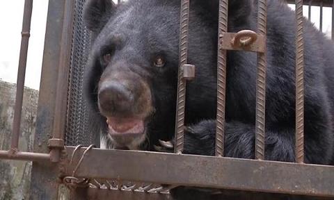 Nuôi gấu hai năm vì tưởng là chó ngao Tây Tạng